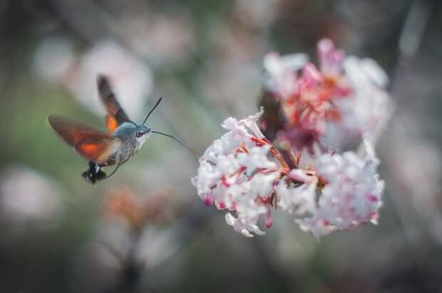 Для того чтобы покрыть такие запросы, языкану приходится потрудиться: за сутки бабочка облетает до 5 тысяч цветков!