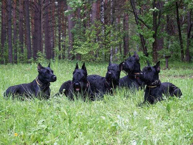 AggressiveDogs04 10 самых агрессивных пород собак