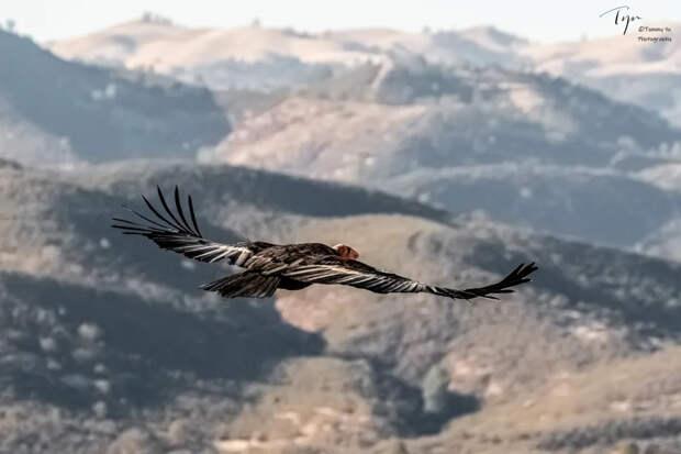 Калифорнийский кондор: Падальщик Дикого Запада. Дружба с индейцами, бойня с европейцами