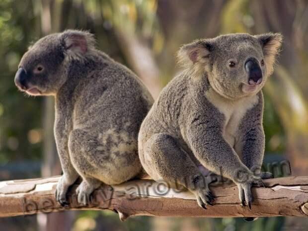 Коала - сумчатое животное Австралии, австралийское животное