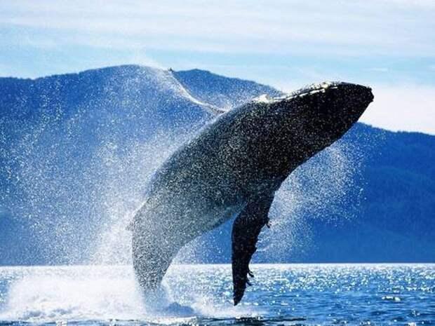 Синий-кит-животное-Описание-и-фото-синего-кита-8