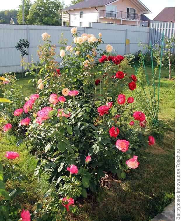 Кусочек розария во втором цветении