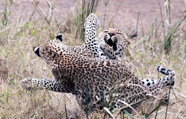 Мать и ее котенок-леопард играют в Национальном парке Крюгера в Южной Африке
