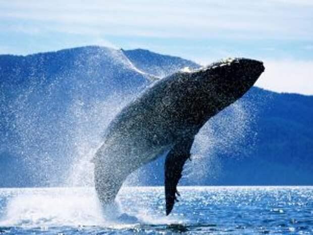 Большой синий кит