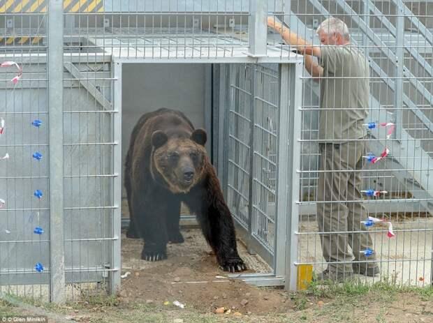 После 17 лет в клетке этот медведь впервые ходит по земле, купается в пруду и валяется на траве
