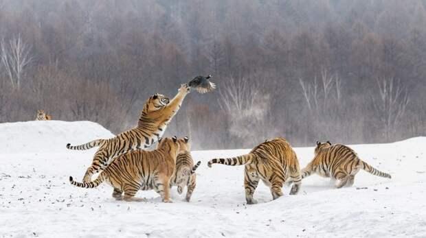 Неожиданная встреча животные, китай, охота, уссурийские тигры, цесарка Алексей Сулоев
