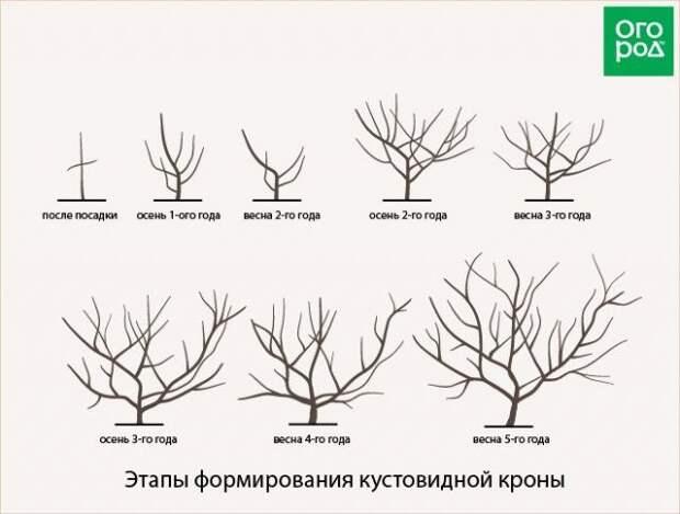 кустовидная форма кроны дерева