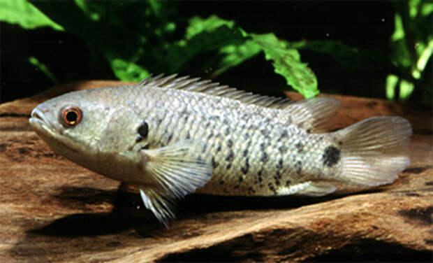 Анабас- рыба, которая может залезть на дерево