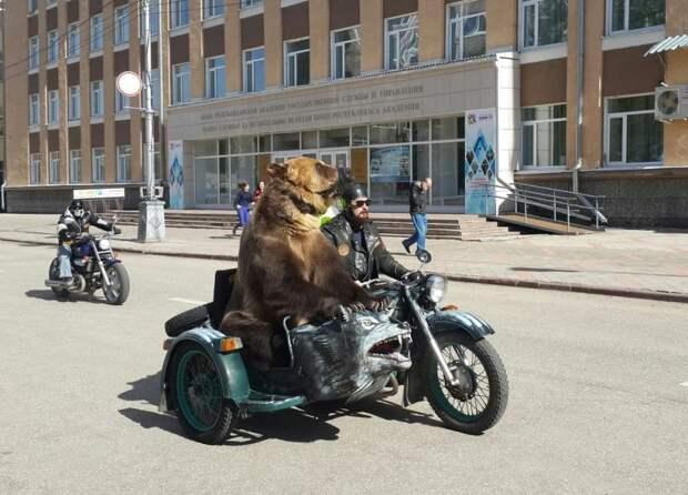 По улицам Сыктывкара в коляске мотоцикла разъезжал медведь байкеры, медведь, мишка, мото, мотоцикл, прикол, сыктывкар, юмор