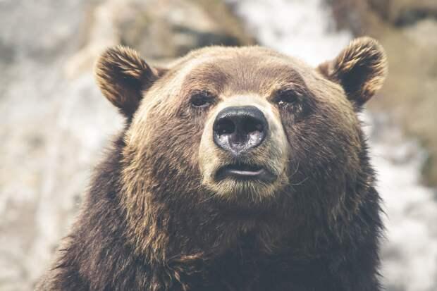 Забредшего на детскую площадку медведя застрелили в Красноярском крае