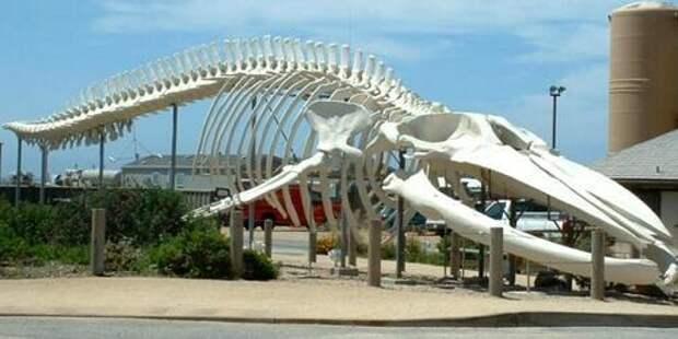 Синий-кит-животное-Описание-и-фото-синего-кита-12