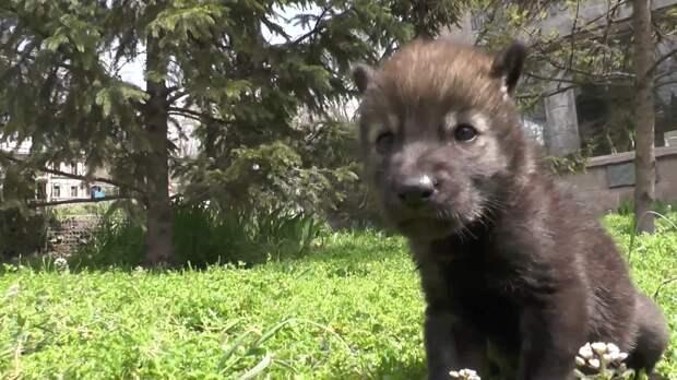 Двух волчат приютили в Бахчисарайском парке миниатюр