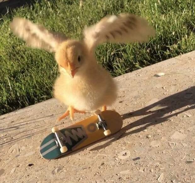 Цыпленок на скейте
