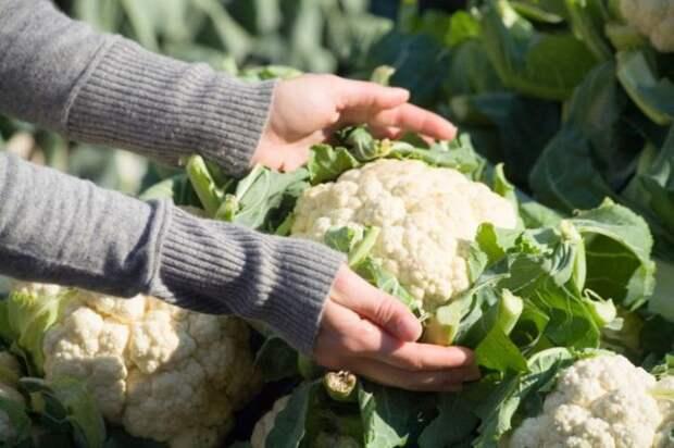 Сбор цветной капусты требует определенного навыка. /Фото: file1.topsante.com