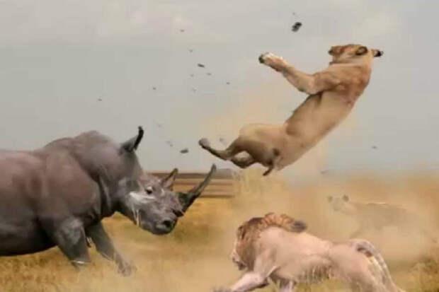 Бешеный носорог против слона, буйвола и даже льва