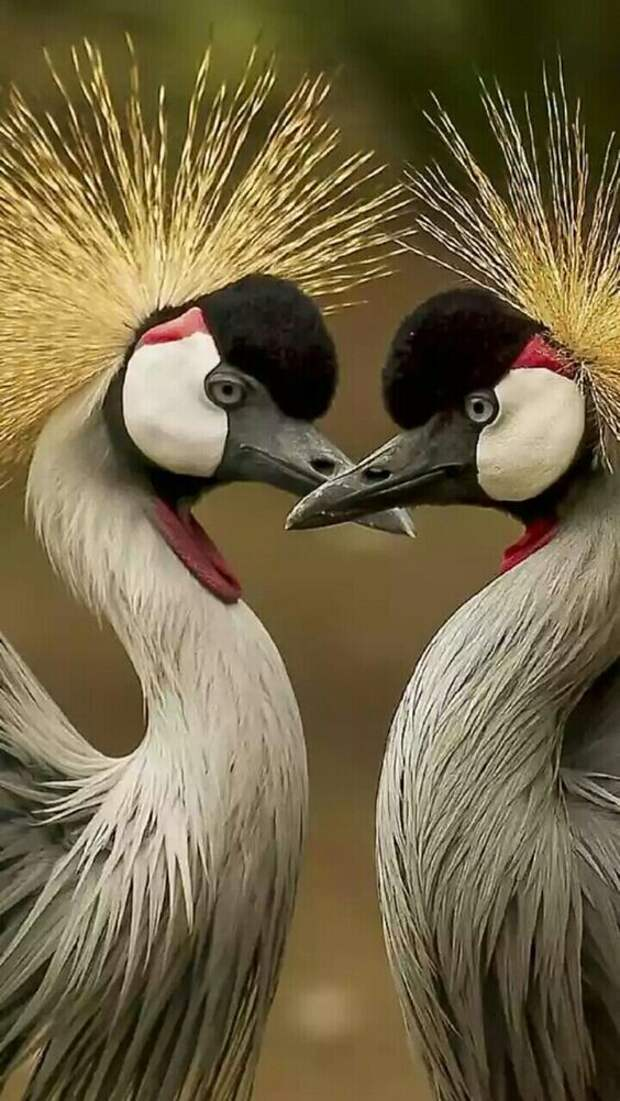 Венценосный журавль (Balearica pavonina) журавли, интересное, красота, птицы, факты, фауна