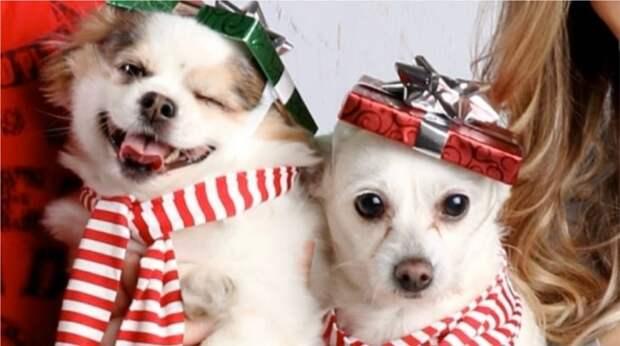 Как две собаки повеселили пользователей сети своим забавным рождественским фото