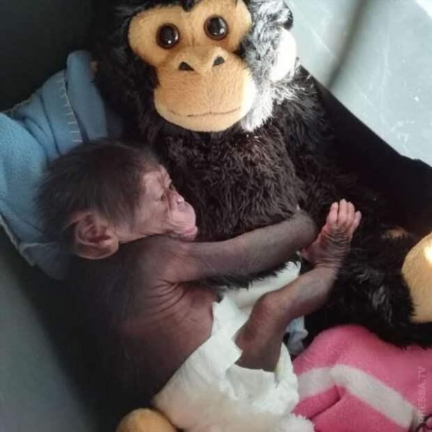 Не та мать, что родила… брошенного шимпанзе усыновила другая