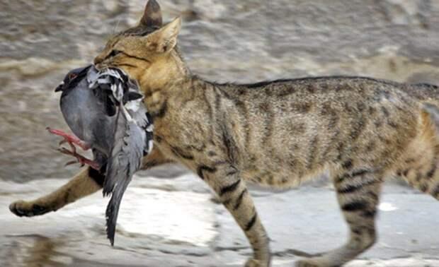 Зачем кошки несут убитых животных домой животные, коты, это интересно