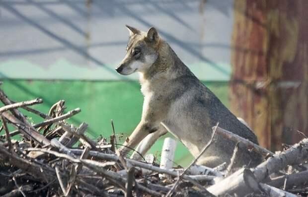 В Канаде дикий волк напал на палатку с туристами