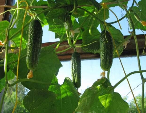 Если есть солнечный балкон, огурцы будут расти хорошо. /Фото: i.pinimg.com