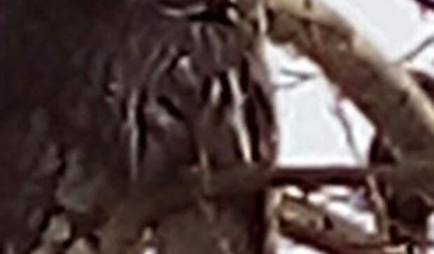 Сова сидела надереве ушколы вНижнем Тагиле