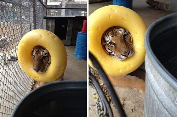 Тигр, который притворяется львом животные, смех, снимок