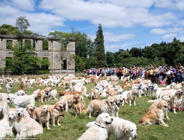 В 2006 году здесь собралось 188 ретриверов, в 2016 - 222, а в этом году удалось побить рекорд - на празднике присутствовал 361 ретривер. в мире, животные, золотистый ретривер, порода собак, породистые, праздник, собаки, фото