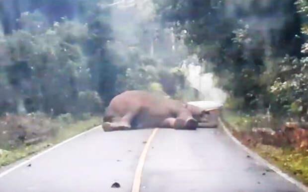 Милота вам в воскресенье: слон спит на дороге
