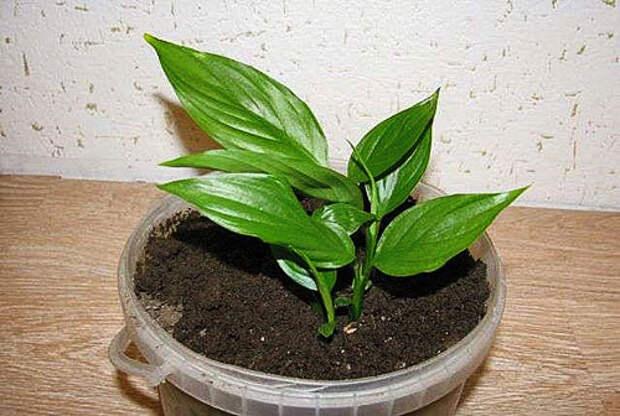 Отсажены молодые растения