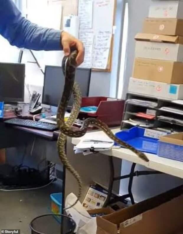 Как австралийский питон решил поработать в офисе