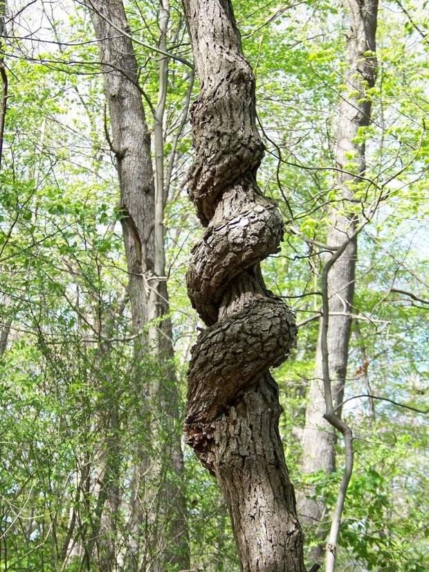 Закручивание является следствием того, что дерево, вырванное с корнем и брошенное на землю (ураганом или какой-либо еще стихийной силой), сумело вновь подняться к солнцу и выжить
