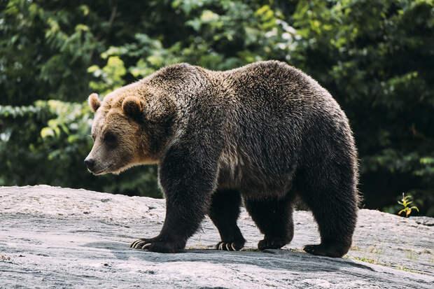 Проникнувший на авиабазу медведь был застрелен