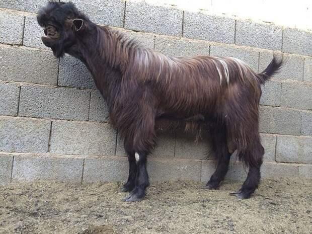 9. Порода, животные, козел, козы, необычные животные, саудовская аравия, селекция, уродливые животные