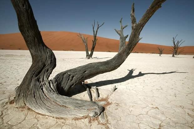При этом есть множество примеров деревьев, которые были повалены бурей, либо реально попадают под воздействие сильных ветров и деформируются именно из-за этого