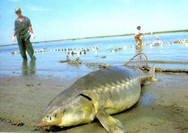 Рыба КАЛУГА.  Вид Калуга занесён в международную Красную Книгу.