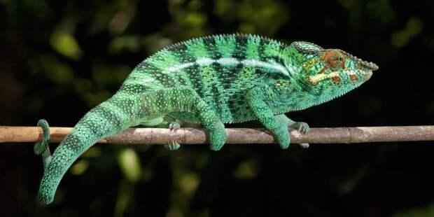 Заблуждения и интересные факты о животных: хамелеоны — мастера камуфляжа