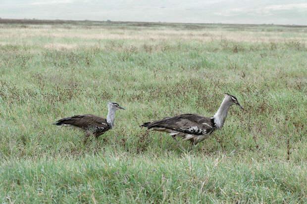 Пара дроф. Видны отличия в размерах самца и самки. Фото Ronald Woan (flickr.com)