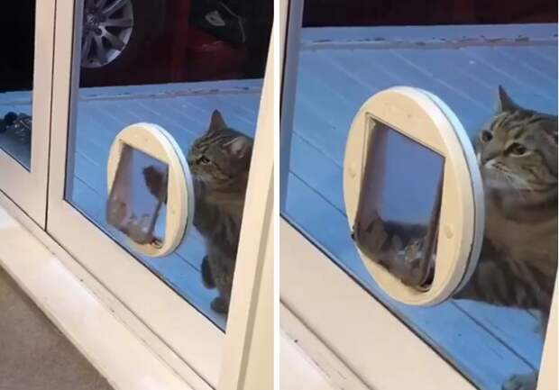 Жирный кот много лет притворялся, что не пролазит в дверь для кошек