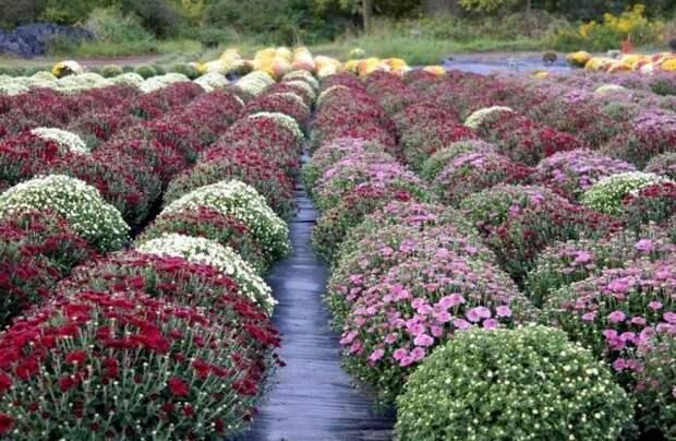 Существуют определённые стандарты для кустов мультифлоры, выращиваемых в горшках на продажу