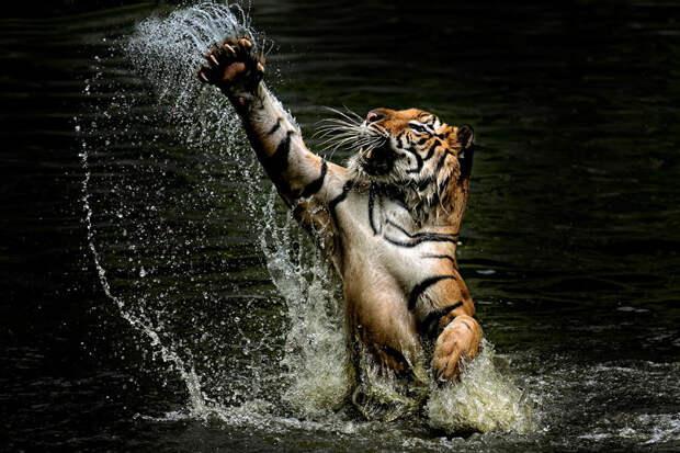 Тигры – дикий животный магнетизм в 25 потрясающих фотографиях животные, тигры, фото