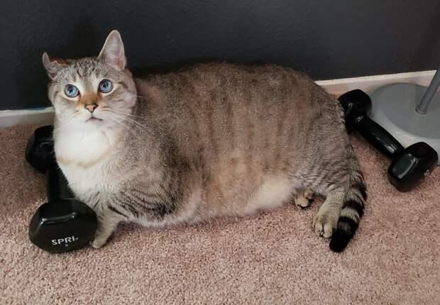 толстый кот и гантели