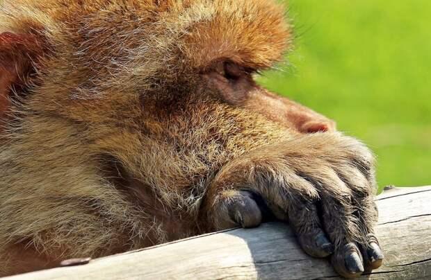 Ногти приматов
