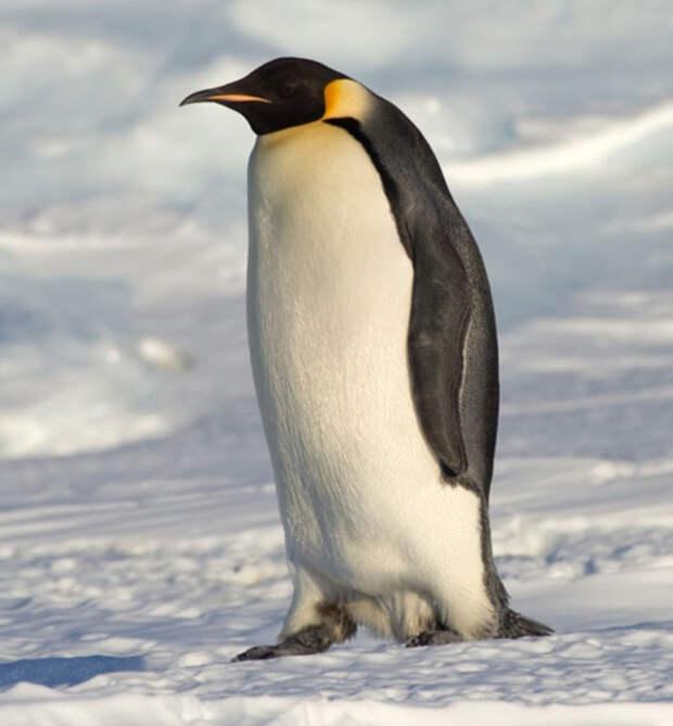 Пингвины Считаете пингвинов странными, но скучноватыми созданиями? Зря. Биологи только недавно поняли, насколько уникален и необычен организм этих птичек. Дело в том, что между глаз у пингвинов располагается специальный орган, служащий для опреснения морской воды!