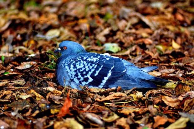 Яркие, умные, злопамятные: 9 фактов о голубях