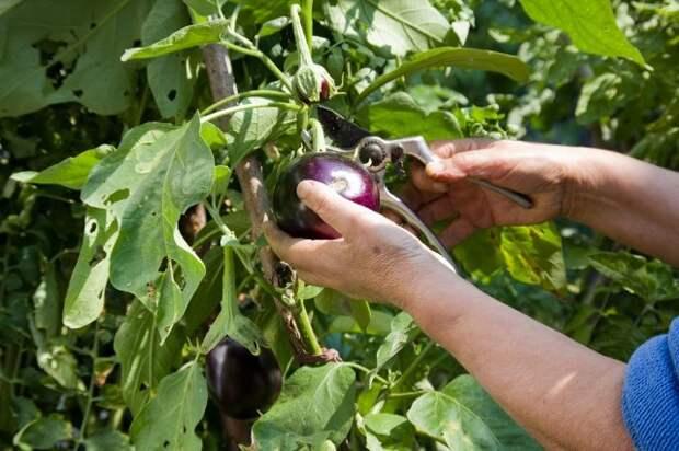 Woman Hands Harvesting eggplants with pruner in the garden