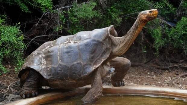 3 факта о 100-летней черепахе-плейбое Диего, который спас вид от вымирания
