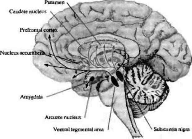 Рис. 2. Дофаминергические пути в мозге человека (Николлс Дж.Г. и др., 2008) [2]