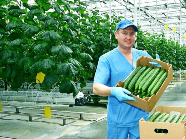 Агрокомплекс из подмосковной Электростали увеличил объёмы поставки овощей в Прибалтику