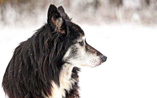 Человек не может отменить старение, но в его силах сделать последние годы жизни собаки счастливым временем без боли и страданий. Фото rihaij/Pixabay